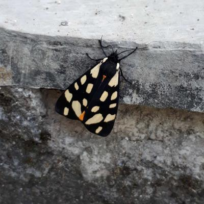 28 Papillon Lcaille De Chine
